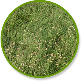 Density Buffalograss